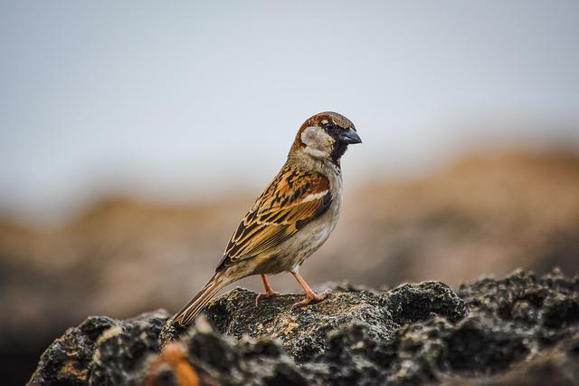 Sparrow, Wildlife, Nature, Bird, Animal, Rock