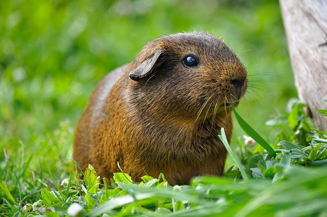 Guinea Pig, Animal, Rodent, Smooth Hair, Grass, Nature