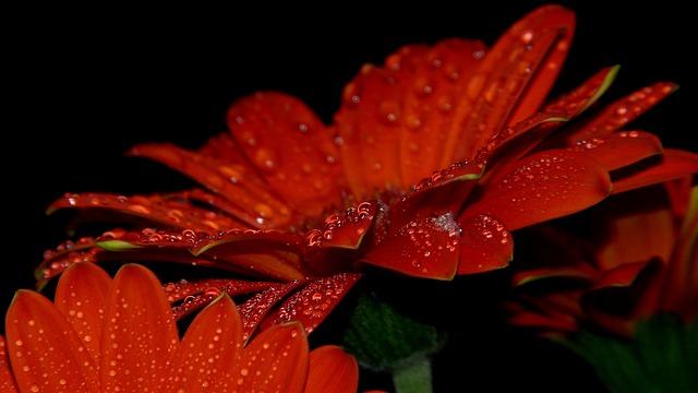 Nature, Flower, Plant, Closeup, Rosa