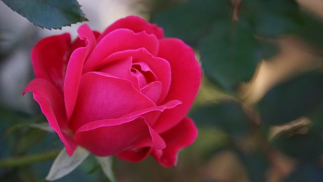 Rose, A Rose, Flower, Nature, Red Petal
