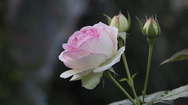 Flower, Plant, Nature, Leaf, Rose, Garden, Summer