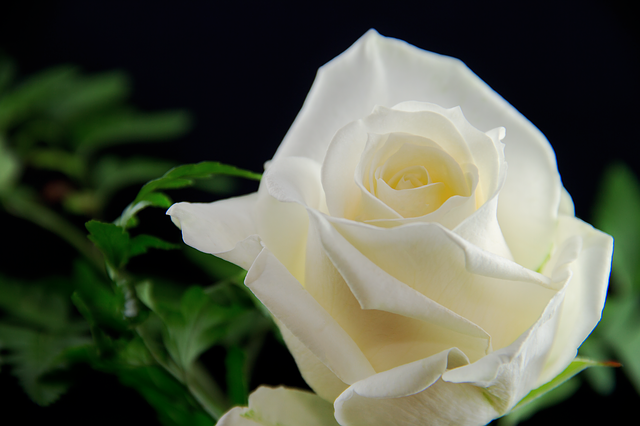 Rose, Flower, White, Romance, Love, Give, Plant, Nature