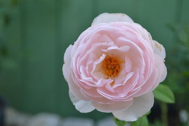 Flower, Flora, Rose, Nature, Petal, Macro