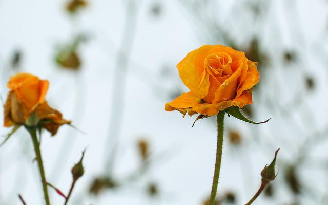 Flower, Nature, Plant, Rose, Rose Blooms, Orange