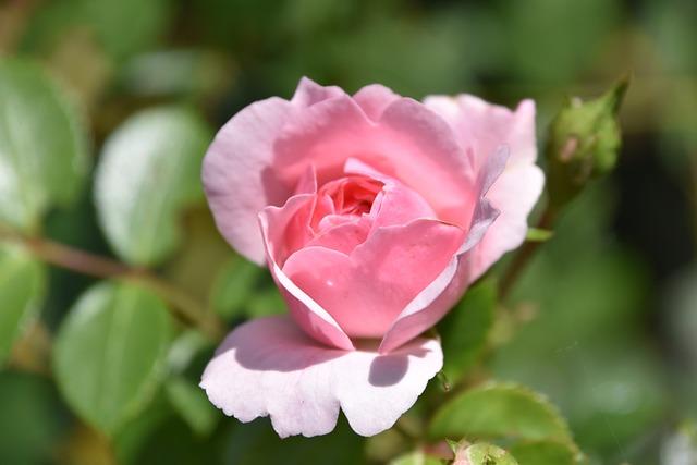 Flower, Plant, Nature, Rosebush, Leaf, Petal, Floral