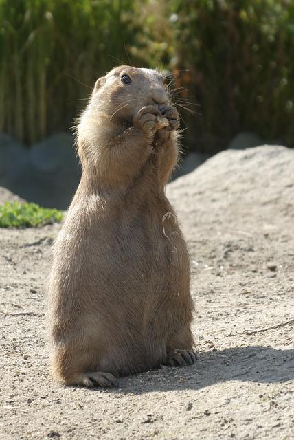 Prairie Dog, Zoo, Blijdorp, Rotterdam, Mammals, Nature