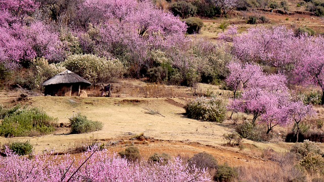 Lesotho, Round Hut, Peach Blossom, Spring, Nature