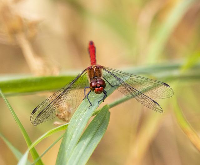 Ruddy-darter, Dragonfly, Nature, Insect, Pattern