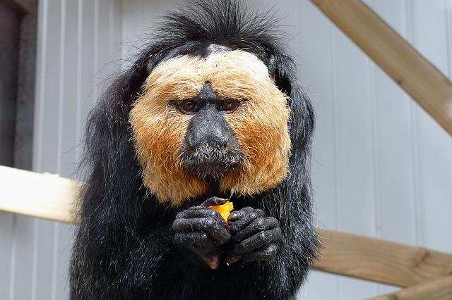Saki Monkey, Sakis, Monkey, Face, Eyes, Nature, Black