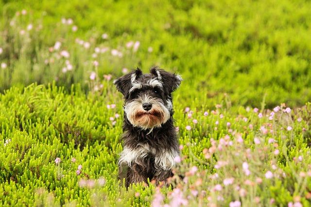 Dog, Heide, Grass, Schnauzer, Puppy, Green, Nature