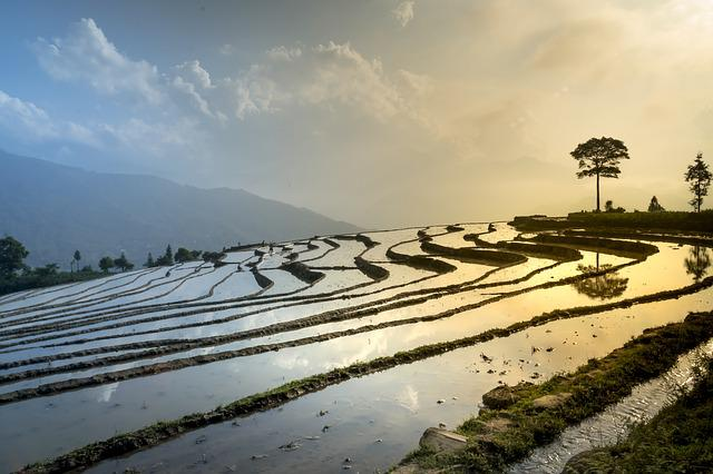 Rice Field, Nature, Landscape, Season