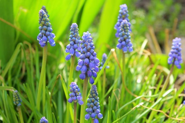 Grape Hyacinths, Spring, Nature, Plant, Flower, Season