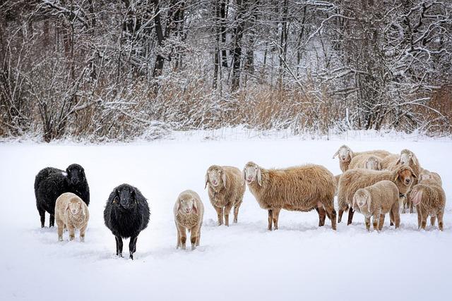 Winter, Sheep, Flock Of Sheep, Flock, Nature, Snow