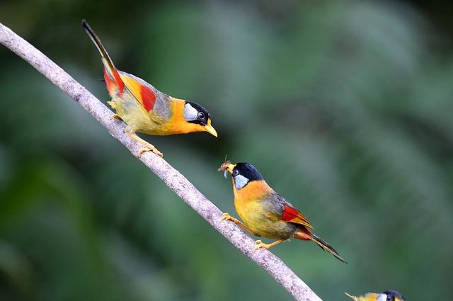 Silver-eared Mesia, Birds, Nature