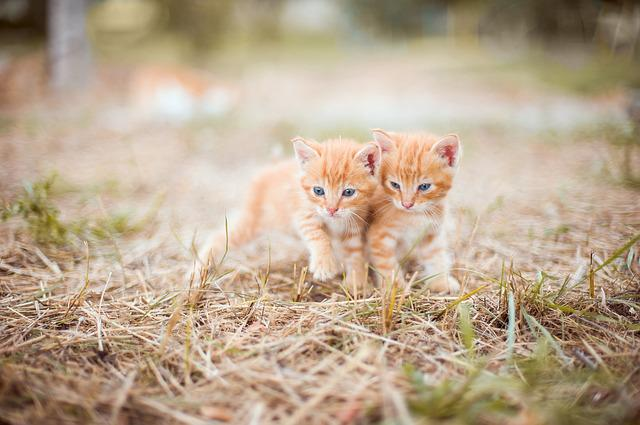 Kitten, Red, Two, Small, Grass, Nature, Striped, Hay