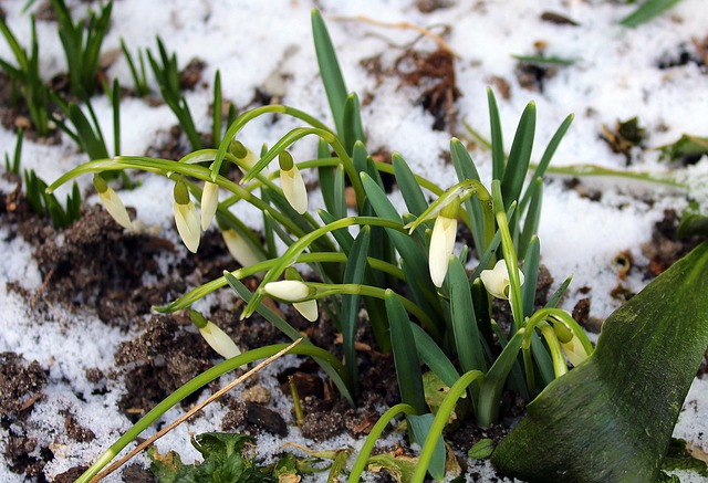 Snowdrops, Nature, Plant, Leaf, Season, At The Court Of