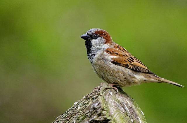 Sparrow, Bird, Songbird, Nature, Feathers, Wildlife