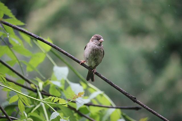 Tree Sparrow, Bird, Nature, Oslo, Sparrow, Tree