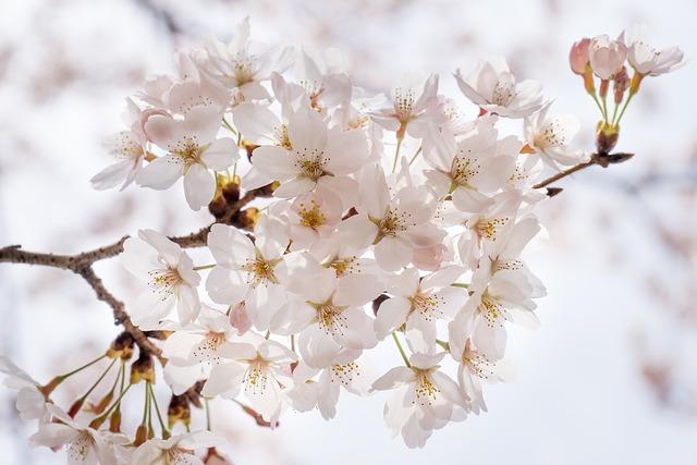 Cherry Blossom, Sakura, Flowers, Wood, Nature, Spring