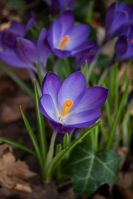 Crocus, Spring, Purple, Flowers, Nature, Crocuses