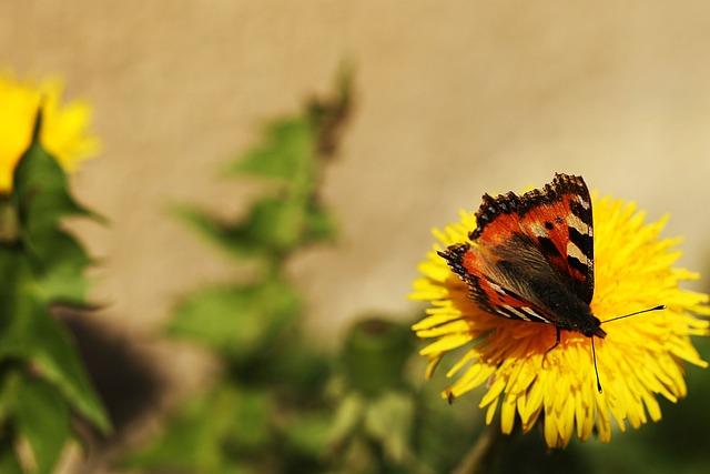 Butterfly, Dandelion, Spring, Nature, Flower