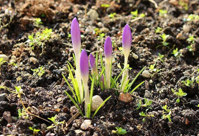Crocus, Spring Flowers, Early Spring, Nature, Plant