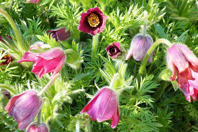 Flowers, Pasque Flower, Plant, Nature, Spring