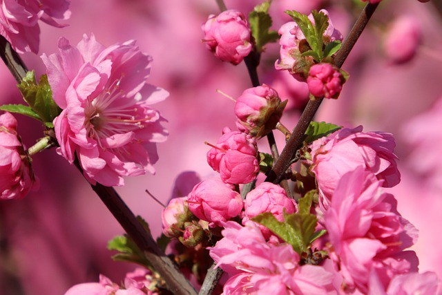 Spring Flowers, Pink, Spring, Nature, Flowers, Plants