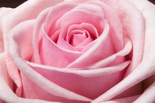Rose, Composites, Flowers, Spring, Summer, Nature