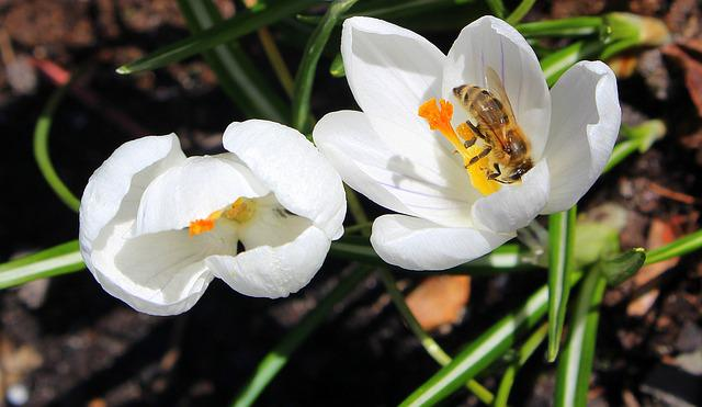 Krokus, Bee, Insect, Spring, Nature, Flower, Plant