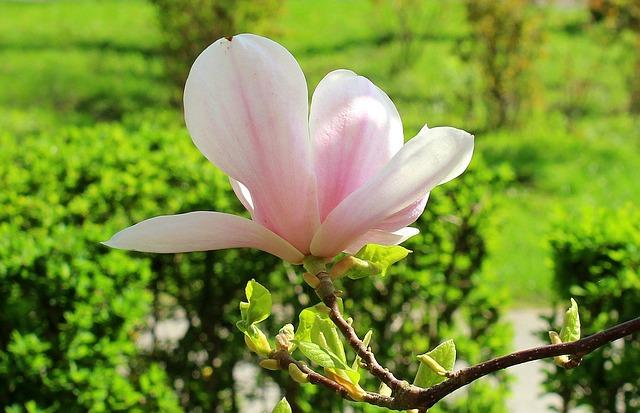 Magnolia, Magnolia Flower, Bush, Spring, Nature, Plant
