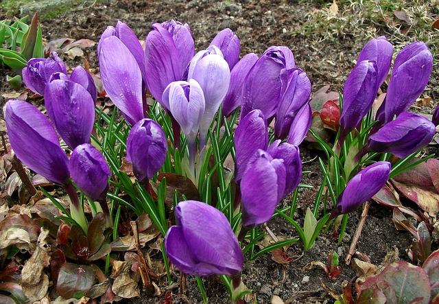Flower, Krokus, Spring, Nature, Plant