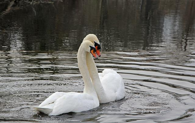 Spring, Swans, Nature