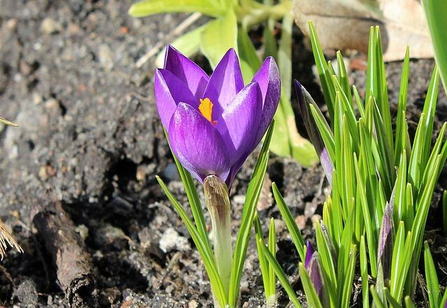 Krokus, Spring Flowers, Spring, Violet, Nature, Flower
