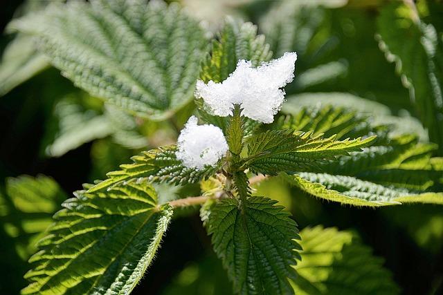 Stinging Nettle, Schneehauberl, Green, Nature, Plant