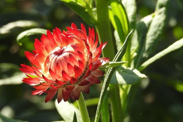 Straw Flowers, Red, Flower, Nature, Garden, Petals