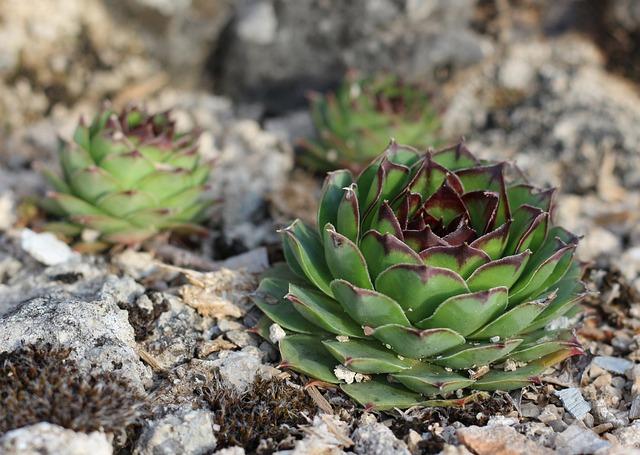 Houseleek, Succulents, Plant, Nature, Sempervivum