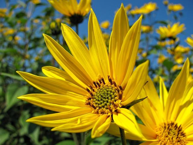 Sunflower, Flower, Yellow, Blossom, Summer, Nature