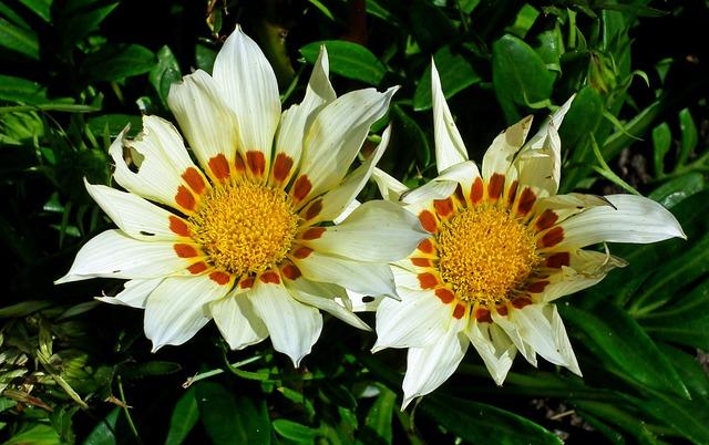 Gazanie, Flowers, Nature, Summer, Macro, Closeup