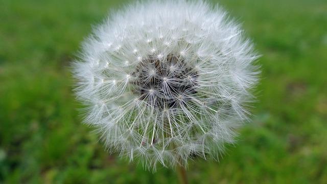 Dandelion, Nature, Flora, Downy, Flower, Seed, Summer
