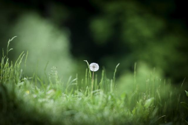 Dandelion, Meadow, Grass, Nature, Summer