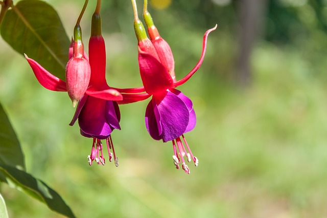 Fuchsia, Flower, Nature, Green, Summer, Flora, Plant