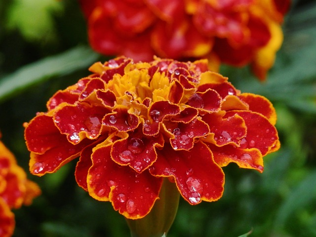 Nature, Flowers, Plants, Summer, Marigold