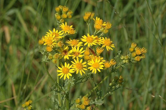Ragwort, Wildflower, Plant, Nature, Yellow, Summer
