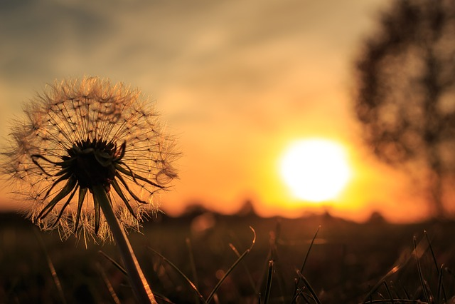 Back Light, Dandelion, Sun, Nature, Close