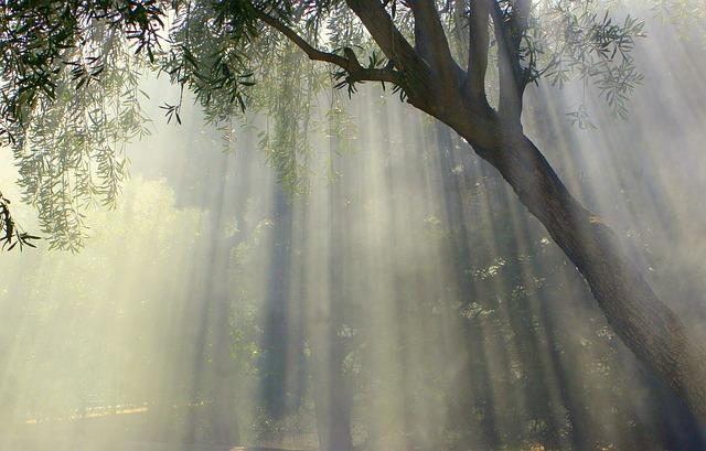 Foggy, Olive Tree, Sun, Sun Stripes, Nature, Landscape