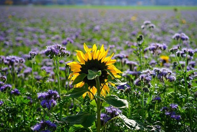 Sunflower, Flower, Yellow, Blossom, Bloom, Nature