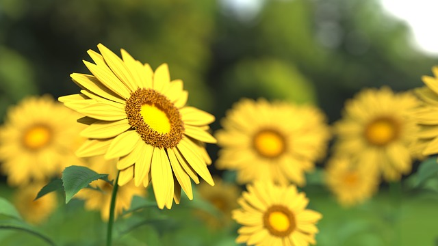 Sunflower, Flower, Nature, Yellow, Sunflower Field