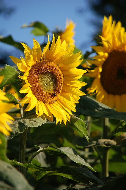 Plant, Nature, Flower, Summer, Leaf, Sunflower, Petal