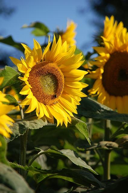 Plant, Nature, Flower, Summer, Leaf, Sunflower, Petal